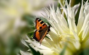 Картинка макро, пыльца, бабочка, Цветок, лепестки