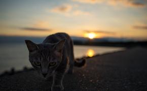 Обои взгляд, котэ, кот, закат