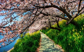 Обои цветущая сакура, hdr, трава, деревья, дорожка, зеленая, река, весна