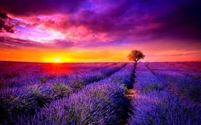 Картинка Sunset, tree, lavender, the cultivation of