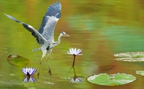 Обои цапля, кувшинки, озеро, серая, птица