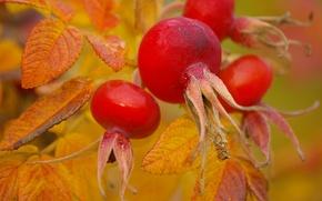Картинка природа, ягоды, шиповник