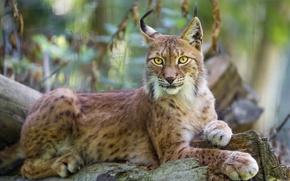 Картинка кошка, рысь, ©Tambako The Jaguar