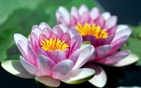 Картинка цветы, лилии, лепестки, водяные