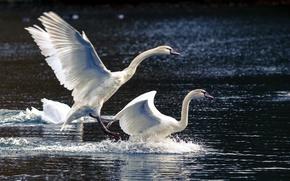 Картинка природа, озеро, лебеди