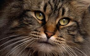 Обои взгляд, глаза, кот