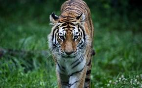 Картинка лес, трава, кошки, тигр, животное, хищник, киска, animals, tiger, predator