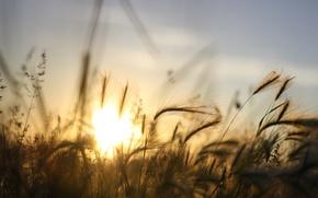 Обои лучи, ячмень, солнце, небо, трава, закат