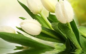 Картинка белый, капли, цветы, фото, тюльпаны