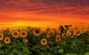 Картинка подсолнухи, закат, природа