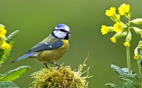 Картинка птица, мох, первоцвет, синица, лазоревка