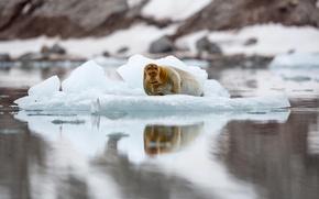 Картинка тюлень, льдина, Шпицберген, лахтак, морской заяц