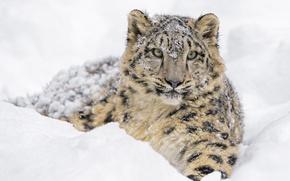 Картинка лежит, хищник, снег, снежный барс, зима, морда, снежный леопард, ирбис, зоопарк, детёныш, дикая кошка, молодой
