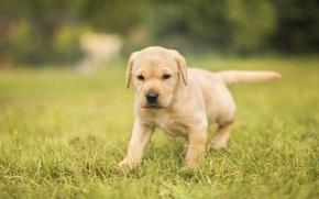 Обои собака, щенок, трава, боке, Лабрадор-ретривер