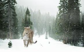 Картинка лес, поляна, снежинки, деревья, зима, снег, хищник, пятнистый, леопард