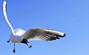 Картинка небо, полет, голубой, птица, чайка