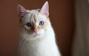 Обои грустный взгляд, кошак, кот