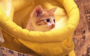 Картинка рыжий, котёнок, мешок, играет