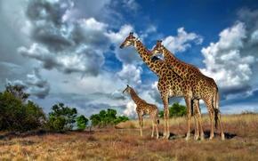 Картинка небо, облака, жираф, саванна, Африка