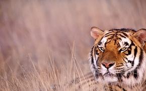 Картинка трава, взгляд, тигр