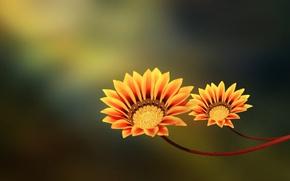 Картинка цветы, пара, yellow, orange, two flowers
