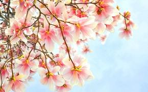 Обои цветы, розовые, ветка, магнолия