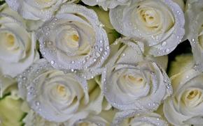 Картинка капли, макро, розы, букет