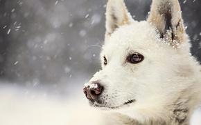 Картинка зима, взгляд, снег, собака, Dog, winter, view, snow
