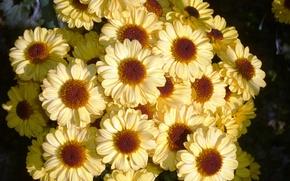 Картинка красота, желтые, хризантемы