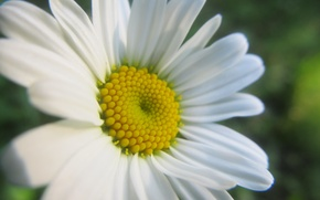 Картинка макро, цветы, ромашка