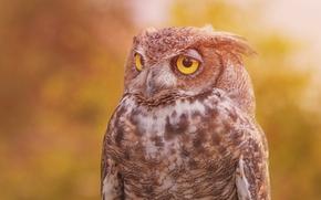 Картинка Виргинский филин, птица, сова, фон