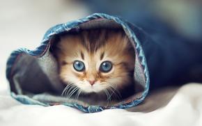Обои кошка, халоша, джинсы, постель, котенок, глаза, кот