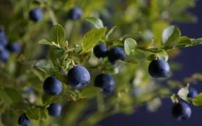 Обои листья, ветки, ягоды, куст, черника, leaves, berries, branches, blueberries, Bush