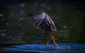 Картинка bird, water, Texas, pond, Pasadena, Green Heron, Horsepen Bayou