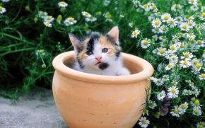 Обои цветы, ромашки, котенок, горшок