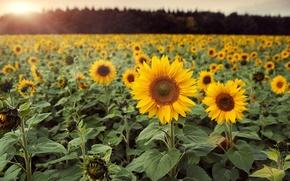 Обои цветы, цветочки, подсолнух, поле