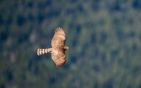 Картинка полет, крылья, Птица, bird, взмах, ястреб, hawk