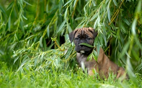 Картинка трава, щенок, верба, ива, кане-корсо