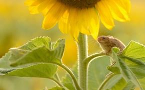 Обои мышь, лето, мышка, подсолнух