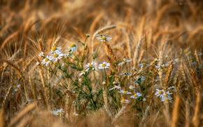 Обои лето, поле, колоски, цветы, ромашки