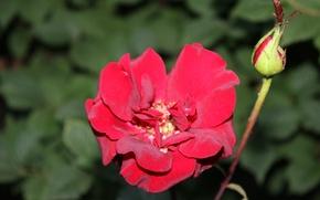 Картинка роза, бутон, алая роза