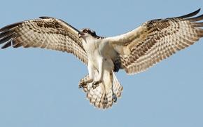 Обои птица, полёт, osprey