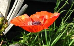Картинка макро, весна, macro, spring, красный мак, Poppy red
