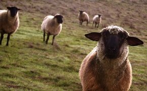 Обои овцы, взгляд, луг