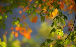 Обои листья, осень, боке, ветки, клён