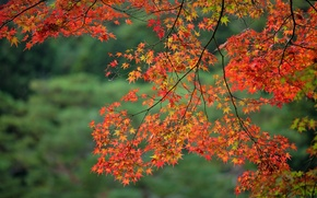 Обои клен, ветка, осень, листья
