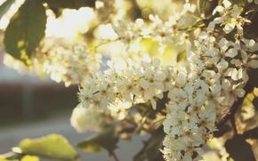 Картинка свет, закат, весна, крем, черемуха, мгкий