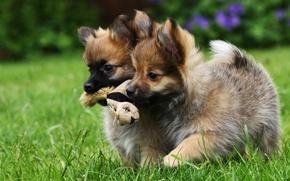 Картинка собаки, игрушка, щенки, малыши, двойняшки, забава