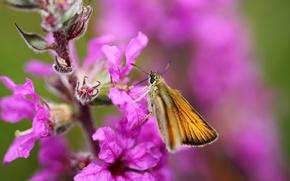 Обои бабочка, макро, насекомое, цветок
