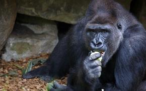 Картинка поза, обезьяна, зоопарк